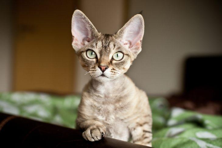 Кошки Туманного Альбиона - английские породы кошек