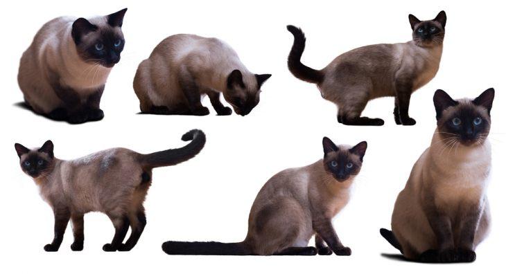 Ориентальная кошка: Восток - дело тонкое!