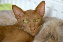 Ориентальная кошка: Восток — дело тонкое!