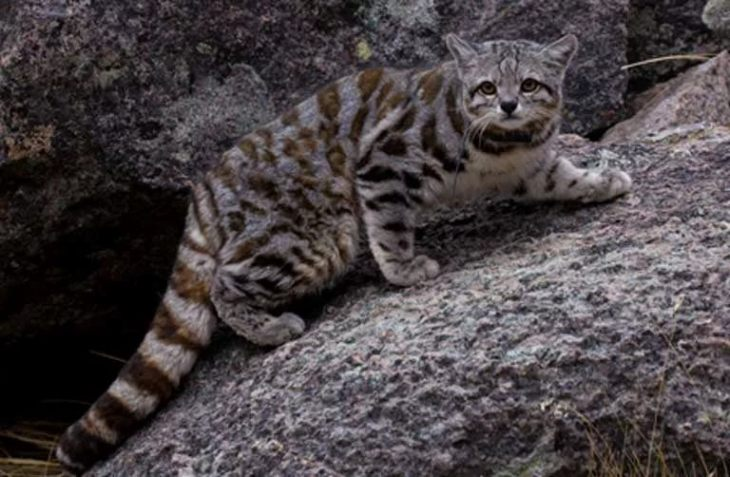 Дикие кошки на грани исчезновения