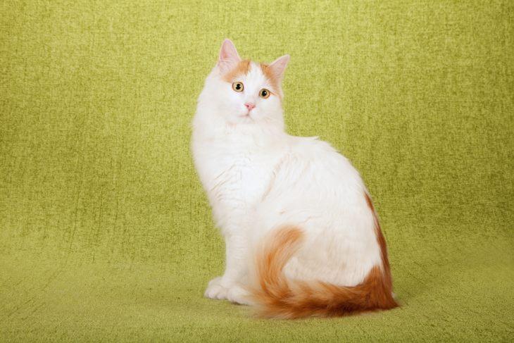 Турецкий ван: кошка-легенда