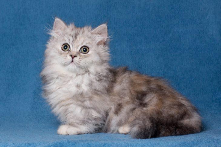 Порода кошек менуэт (наполеон) — мал золотник, да дорог