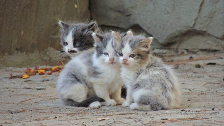 Вши и власоеды у кошек