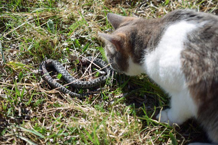 Кошку укусила змея – что делать?