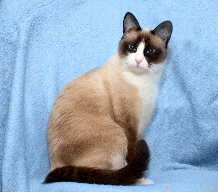 Порода кошек сноу шу: кошка-белоножка