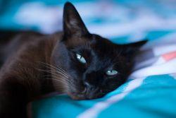 Тонкинская кошка — два бездонных океана глаз