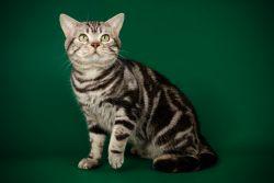 Порода кошек американская короткошерстная — американская мечта